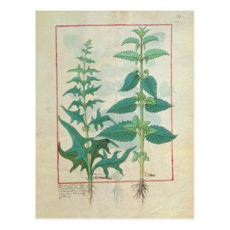 Urticaceae Postkarte