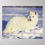 USA, Alaska. Arktischer Fuchs im Wintermantel. Kre Plakatdruck