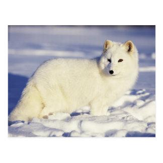 USA, Alaska. Arktischer Fuchs im Wintermantel. Postkarte