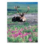USA, Alaska, Denali Nationalpark, Karibu Postkarte