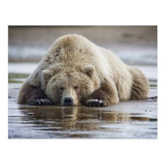 USA, Alaska, Katmai Nationalpark, Braunbär 4 Postkarte