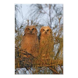 USA Florida De Soto Große gehörnte Owlets sitze Photos