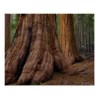 USA, Kalifornien, Baum des riesigen Mammutbaums Poster
