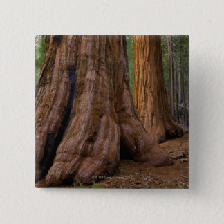 USA, Kalifornien, Baum des riesigen Mammutbaums Quadratischer Button 5,1 Cm