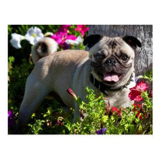 USA, Kalifornien. Mops im Blumen-Garten Postkarte