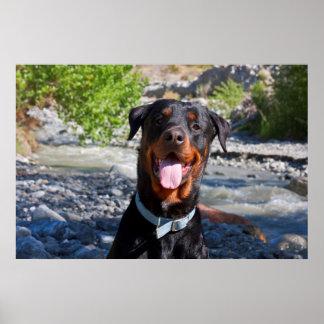 USA, Kalifornien. Rottweiler Lächeln Plakatdrucke