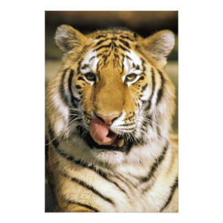 USA, Michigan, Detroit. Detroit-Zoo, Tiger Fotodrucke