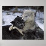 USA, Montana, Wölfe, die im Schnee spielen Plakatdruck
