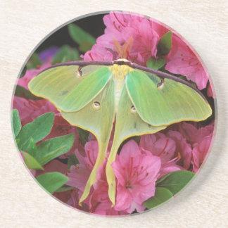 USA, Pennsylvania. Luna-Motte auf rosa Clematis Untersetzer