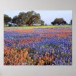 USA, Texas, Llano. Bluebonnets und redbonnets Poster