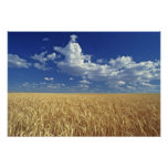 USA, Washington-Staat, Colfax. Reifer Weizen Plakatdrucke