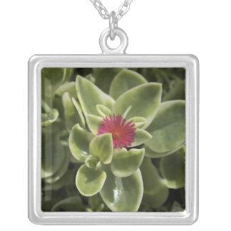 USA, Washington, Woodinville, Sedum Blume Versilberte Kette