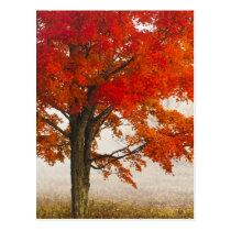 USA, West Virginia, Davis. Rotahorn im Herbst Postkarte