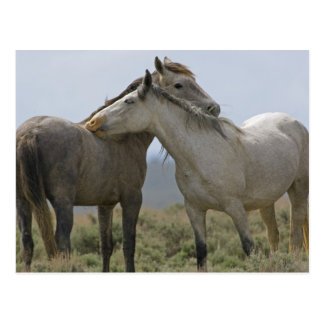 USA, Wyoming, Carbon County. Wilde Pferde 2 Postkarte