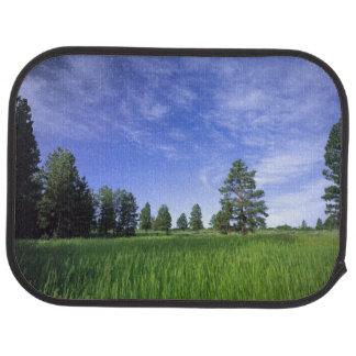 UTAH. USA. Ponderosa Kiefern Pinus ponderosa) u. Autofußmatte