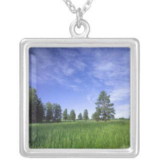 UTAH. USA. Ponderosa Kiefern Pinus ponderosa) u. Versilberte Kette