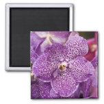 Vanda-Orchidee Quadratischer Magnet