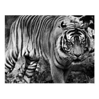 Verärgerter Tiger Postkarte