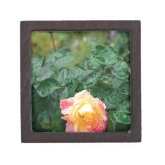 Verblaßt nasse Herbst-Rose mit Unschärfe Kiste