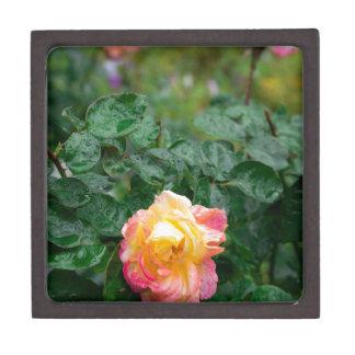 Verblaßt nasse Rose mit Tropfen des Regens Kiste