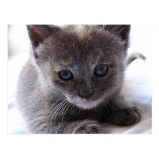 Verdünntes Schildpatt-Kätzchen Postkarte
