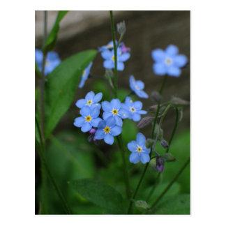 Vergissmeinnicht-Blume Postkarte