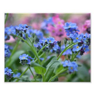 Vergissmeinnicht-Blumen Fotodruck