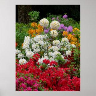 verschiedene Rhododenron blühend im Garten, Poster