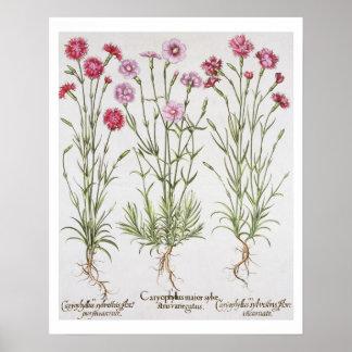 Verschiedene Vielzahl von Dianthus, vom 'Hortus Ey Poster
