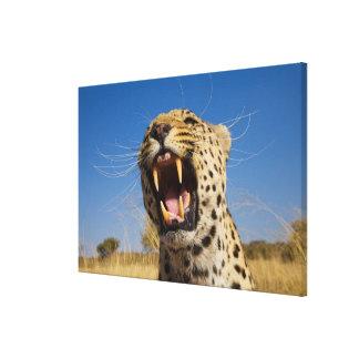 Verwirrender Leopard Leinwanddruck