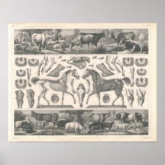 Vieh drucken Schaf-Pferdeschweine der Kuh-1800's Poster