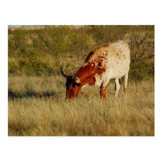 Vieh Texas Longhorn Postkarte
