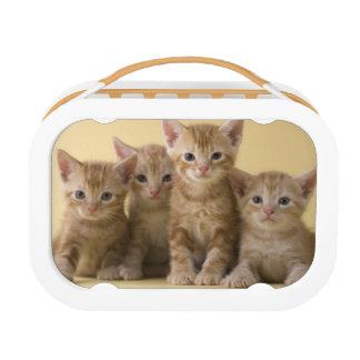 Vier Amerikaner Shorthair Kätzchen Brotdose