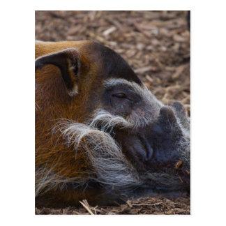 Vietnamesisches Schwein Postkarte