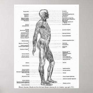 Vintag - menschliche Anatomie-Muskeln Poster