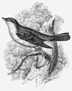 54281677ea0b3c Vintage 1800s Nachtigall-Vogel-Illustrations-Vögel T-Shirt