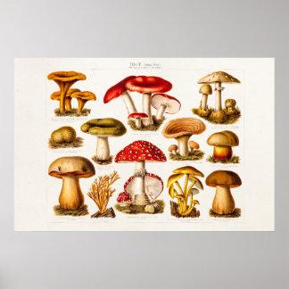 Vintage 1800s Pilz-Vielzahl-Rot-Pilze Poster