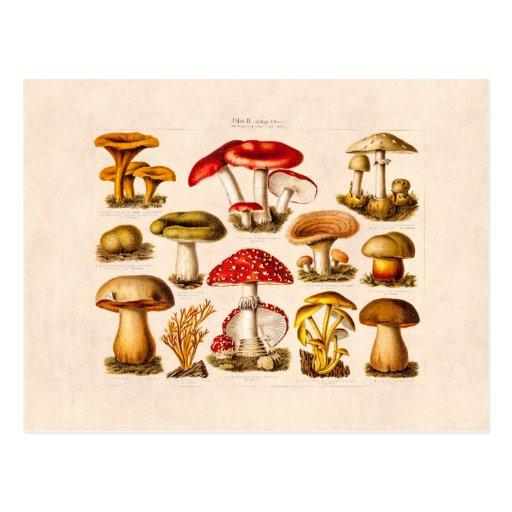 Vintage 1800s Pilz-Vielzahl-Rot-Pilze Postkarten