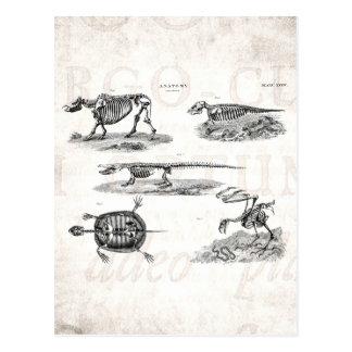 Vintage 1800s Tierskelett-antike Anatomie Postkarte