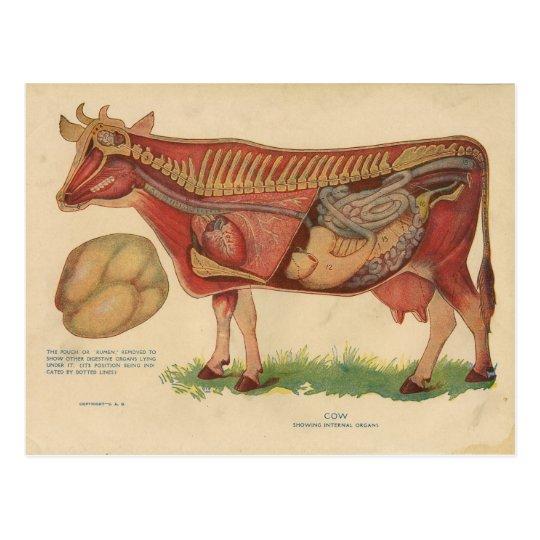 Vintage 1912 Kuh-Anatomie-Illustration Postkarte | Zazzle