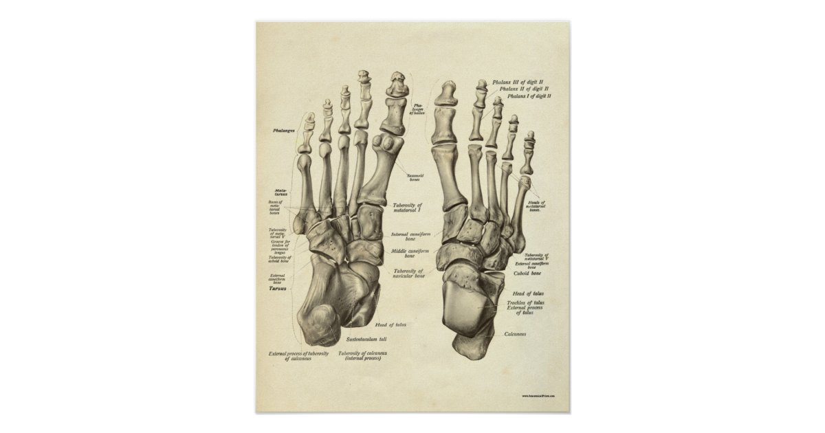 Ziemlich Knochen Des Fußes Und Des Knöchels Fotos - Anatomie Von ...