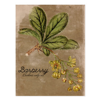 Vintage Art-Berberitzenbeerbush-Pflanze Postkarte