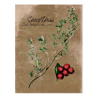 Vintage Art Uva Ursi Pflanzen-Postkarte Postkarte