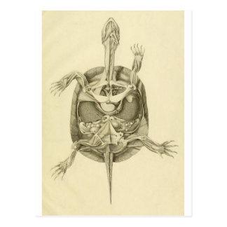 Vintage biologische Schildkröte-Anatomie Postkarte