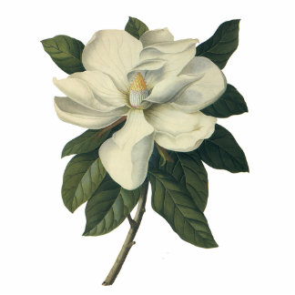 Vintage Blumen, blühende weiße Magnolien-Blüte Fotoausschnitt
