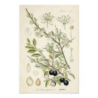 Vintage botanische Illustration Fotografische Drucke