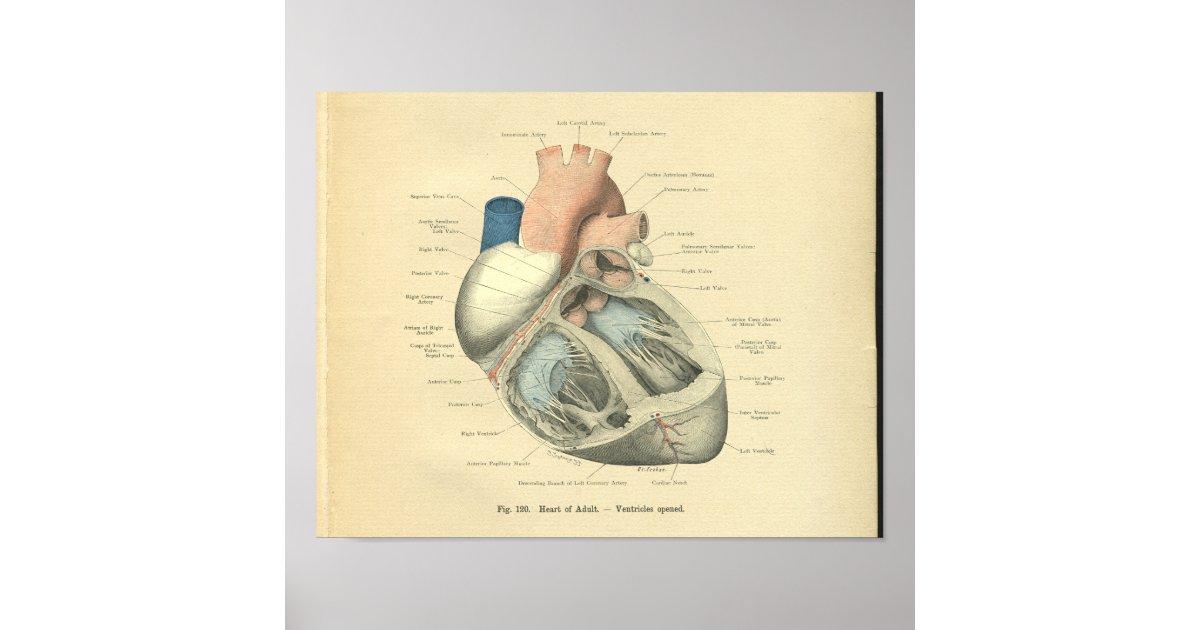 Atemberaubend Anatomie Eines Menschlichen Herzens Fotos - Anatomie ...