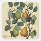 Vintage Frucht-Birnen-botanischer Druck Quadratischer Aufkleber