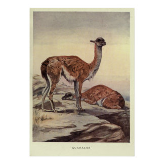 Vintage Guanacos Painting (1909) Poster