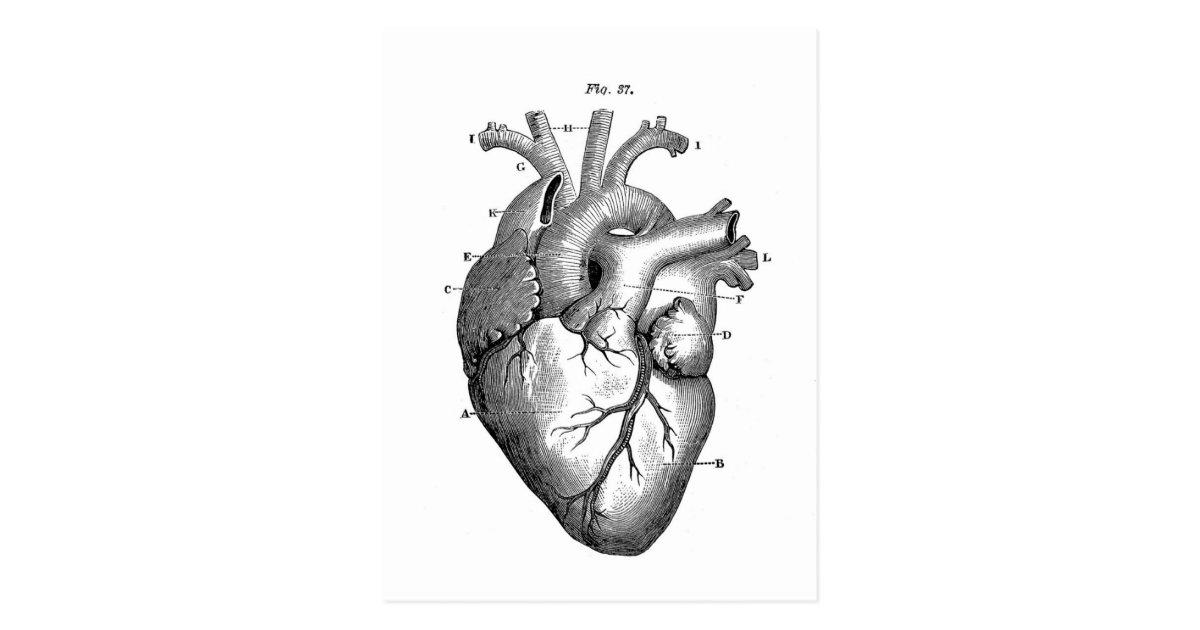 Ziemlich Herz Der Anatomie Galerie - Menschliche Anatomie Bilder ...